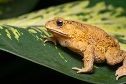 Asian common, Asian black-spined, black-spectacled, common Sunda and Javanese toad (Chordata, Amphibia, Anura, Bufonidae, Duttaphrynus melanostictus) resting on the leaf while facing the left side
