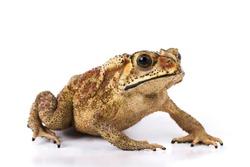 Asian common toad ( Duttaphrynus melanostictus ) isolated on white background