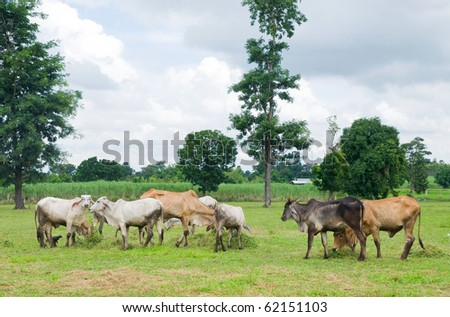 Asian cows in a field at a farm in Nakhon Ratchasima, Thailand.