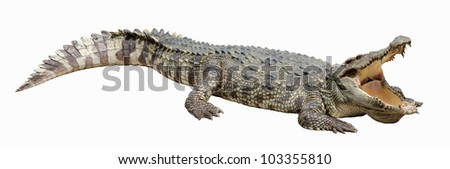 Asian crocodile sleep and relax action with white isolated background.