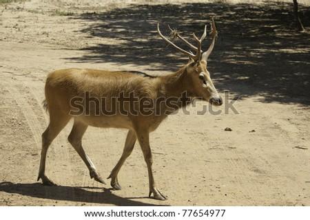 Asian deer crossing the road.
