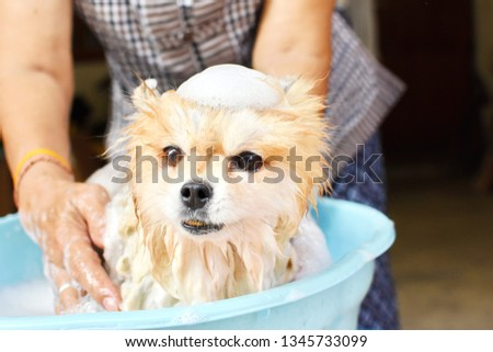 Photo of Asian elderly woman use her free time to be useful by cleaning small Pomeranian dog by herself at home, crop picture half body adult female, wet pet with bubble soap in blue bucket, happy time concept