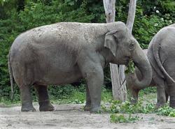 Asian elephant eating twigs. Latin name - Elephas maximus