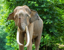 Asian elephant, Elephant is important to Thai people. In the past, they used elephants in warfare and transport.