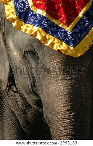 Asian elephant (Elephas maximus) with head decoration, Rajasthan, India
