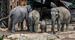 Asian elephant family in the enclosure. Latin name - Elephas maximus