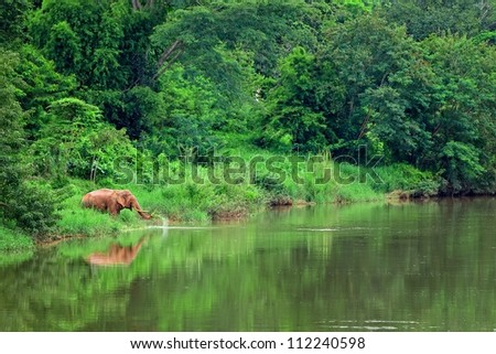 Asian elephant in tropical forest