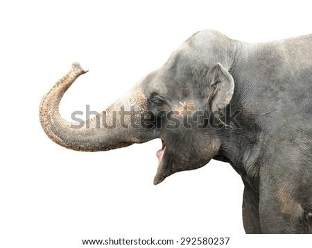 Asian Elephant isolated on white background.