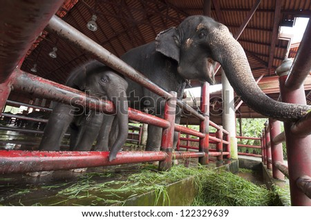 Asian elephant mother and baby in the corral