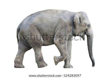Asian elephant on white background