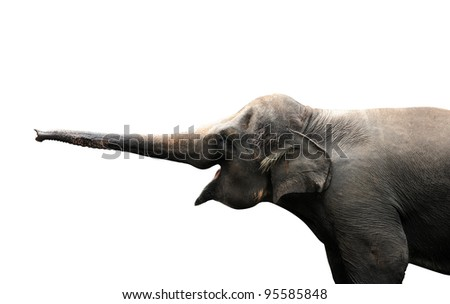 Asian elephant reaching out with it's trunk to sense isolated against white background. Clipping path included.