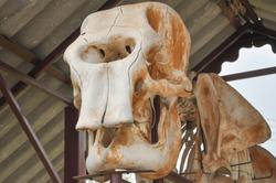 Asian elephant skull