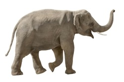 Asian elephant walking and raising his trunk in a cheerful way, isolated on white