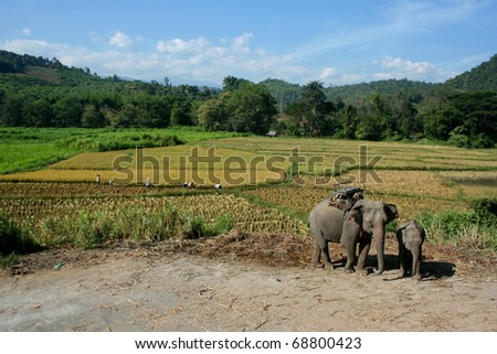 Asian elephant with rice field and mountains background