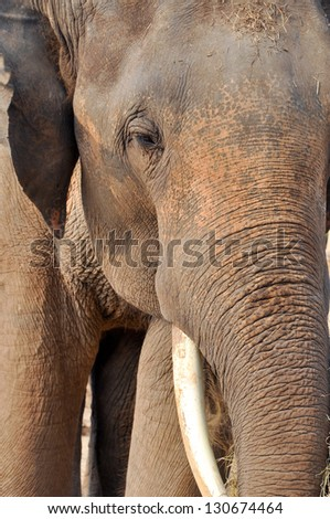 Asian elephants, smaller than their African cousins, are highly endangered.