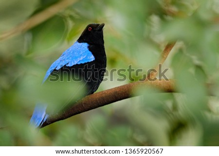 Asian Fairy-bluebird, Irena puella,  black and blue bird from southern China and the Himalayas. Cute animal in green vegetation.  Wildlife scene from Asia nature, bird hidden in green vegetation. #1365920567