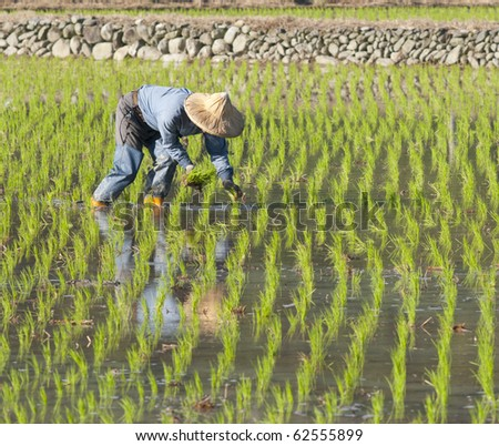asian farmer planting on the paddy rice farmland by organically skill. - stock photo