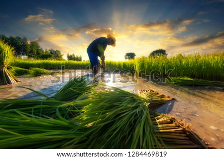 Asian farmer working in field rice Asia. Agriculture Asia Indonesia Thailand Vietnam concept.