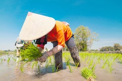 Asian farmers are growing rice in local rice field - local farmer livelihood in rice agricultural rural plantations concept