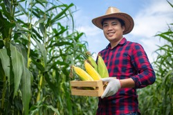 Asian farmers hold corn stored in wooden boxes in corn fields to check the quality of corn.