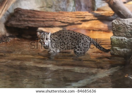 Asian Fishing Cat, Small Wild Cat of India, Vietnam, Sri Lanka, Himalaya Mountains and other parts of Asia.