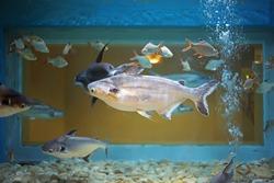 Asian giant catfish swiming in big tank at aquarium