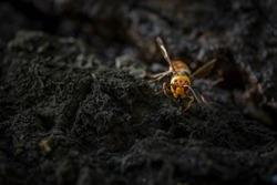 Asian giant hornet, Japanese , closeup macro