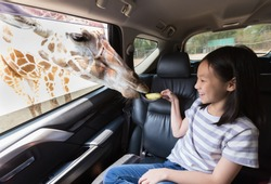 Asian girl feeding a giraffe in a car at Safari park open zoo,Kanchanaburi,Thailand