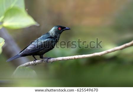 Asian Glossy Starling #625549670