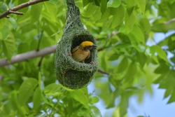 Asian golden weaver bird is nesting in the grass on the tree. During the approaching breeding season to use as an incubator.