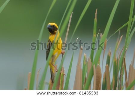 Asian Golden Weaver bird of thailand