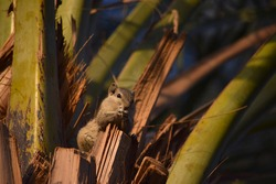 Asian gray squirrel on palm dates tree, chipmunk close up eating sweet fruit date, mammal wildlife animal nature fauna