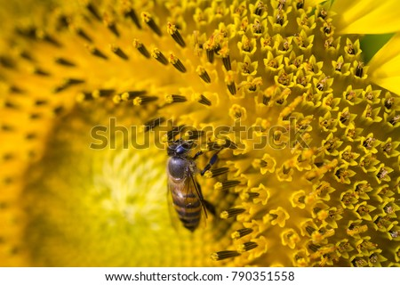 Asian honey bee, Apis cerana, working on collecting nectar and pollens from a sunflower and become a nature crop pollination.