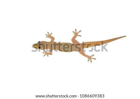 Asian House Gecko (hemidactylus) isolated on white background.