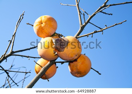 Asian (Kaki) persimmons on the tree