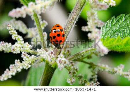 asian lady beetle, blooming, stinging nettle