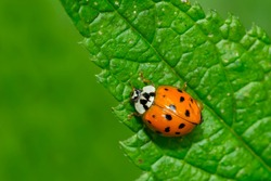 Asian Lady Beetle crawling on a green leaf. Also known as a Harlequin Ladybird and Multicolored Asian Beetle.  Taylor Creek Park, Toronto, Ontario, Canada.