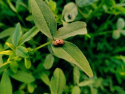 Asian lady beetle. Ladybird beetle. Two -spot ladybird.Coccinella septempunctata, the seven-spot ladybird, is the most common ladybird in Europe.. Its elytra are of a red colour. insects collection