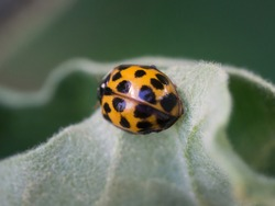 Asian ladybeetle (harmonia axyridis) , harequin, multicolored Asian insect sitting on a green leaf