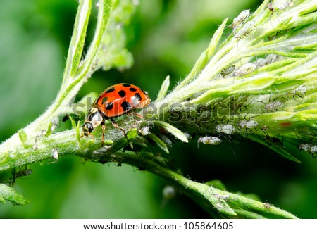 asian ladybird hunting aphids