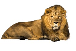 Asian lion on a white isolated background.