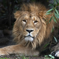 Asian lion, resting in forest shadow. Square image. The King of beasts, biggest cat of the world, looking straight into the camera. The most dangerous and mighty predator of the world.