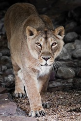 Asian lioness steps forward looking confidently against the background of stones from the darkness