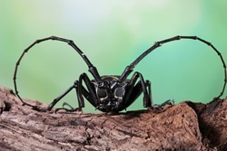 Asian Longhorn beetle closeup face on branch, Asian longhorn beetle closeup, closeup face insect