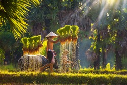 Asian men carrying saplings of jasmine rice to cultivate in rice fields. Father and son are working together to bring rice together. Lifestyle of Southeast Asian people walking through the rice field.