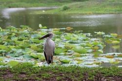 Asian openbill bird walking near lotus pond