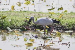 Asian openbill or Asian openbill stork is a large wading bird in the stork family Ciconiidae.