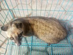 Asian Palm Civet - Can be a cute pet like a cat