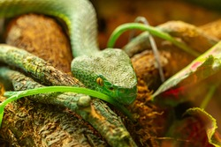Asian palm pit viper close-up Trimeresurus and yellow eyes crawling towards the camera, green poisonous snake