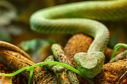 Asian palm pit viper Trimeresurus and yellow eyes crawling towards the camera, green poisonous snake